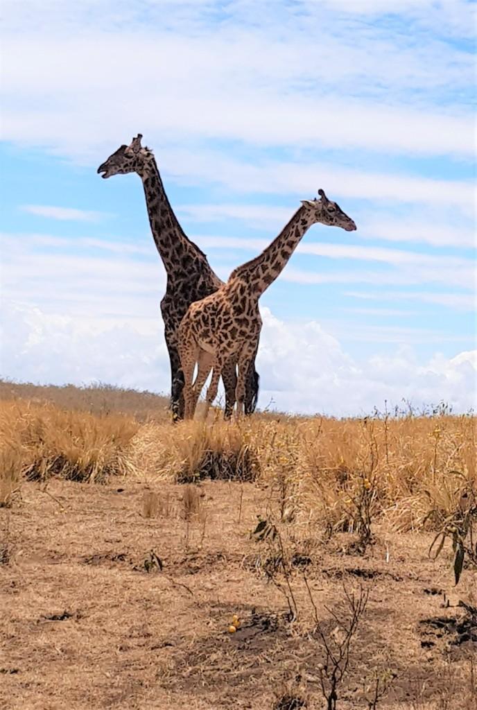 Girafes 1